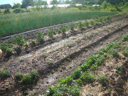 Organic vegies