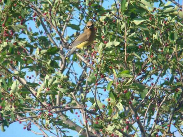 Cedar Waxwing watching us farming