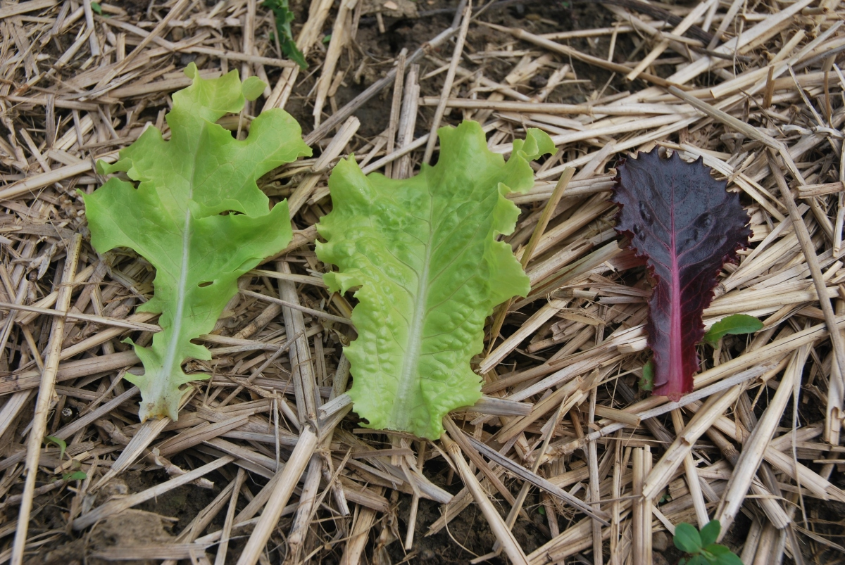 Harvesting Baby Lettuce
