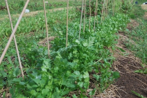 5a Organic Cilantro ready for harvest