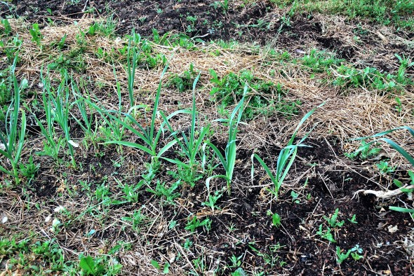 DSC_0006 too young garlic growing