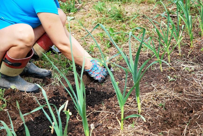 DSC_009 young garlic